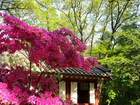 Fliederblüten in den Gärten des Changdeokgung Palastes und ein Pavillon im Hintergrund.