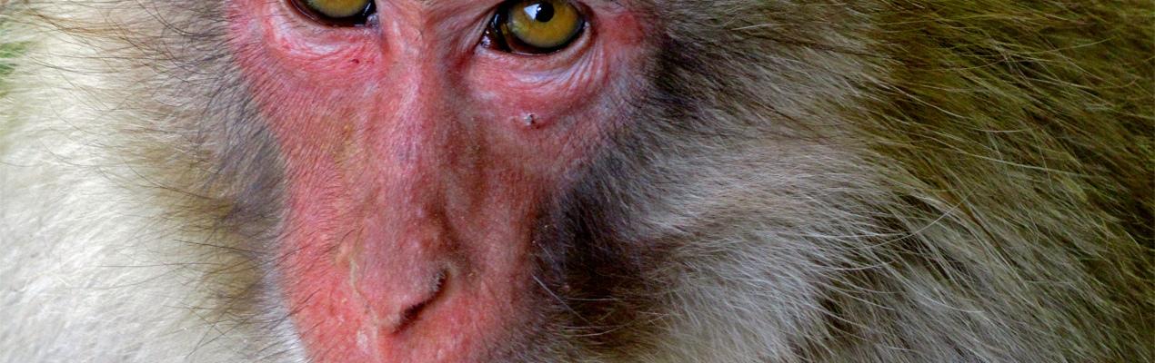 Ein Affe der Snow Monkey Gruppe blickt mir ganz tief in die Augen (Artikel-Banner-Bild)