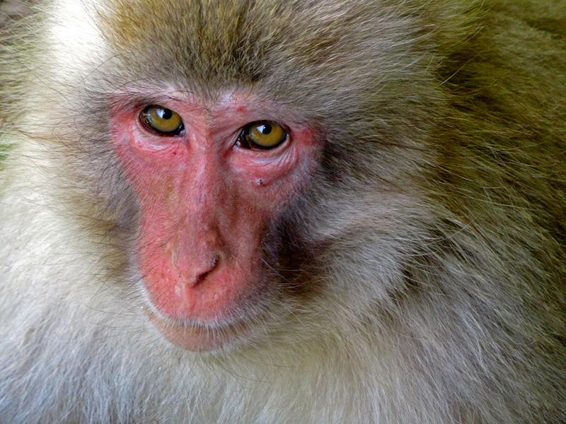 Ein Affe der Snow Monkey Gruppe blickt mir ganz tief in die Augen