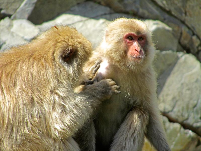 Zwei Affen der Snow Monkey Gruppe entlausen sich gegenseitig