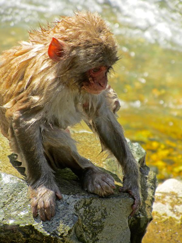Ein pitschnasser junger Affe der Snow Monkey Gruppe sitzt auf einem Felsen am Fluss