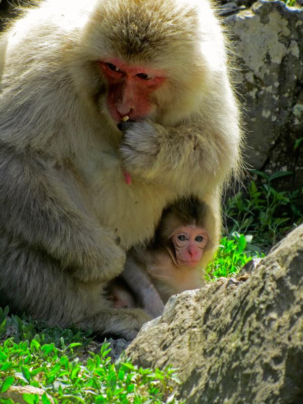 Eine Mutter der Snow Monkey Gruppe und ihr ganz junges Affenbaby zwischen Steinen und Gras