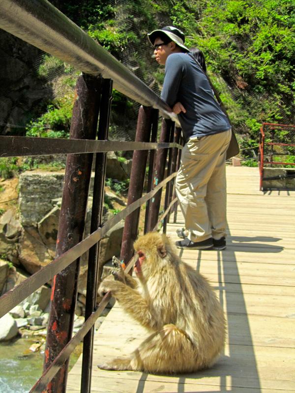 Ein Affe der Snow Monkey Gruppe sitzt gemütlich auf einer Brücke, daneben steht ein sonnenbebrillter Tourist, und beide schauen auf den Fluss unter ihnen