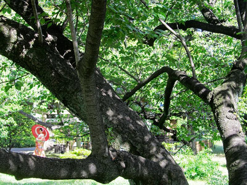 Ein Baum im Hama-rikyu Garten im Vordergrund, links zwischen seinen Ästen: eine junge Frau im Kimono mit rotem Sonnenschirm