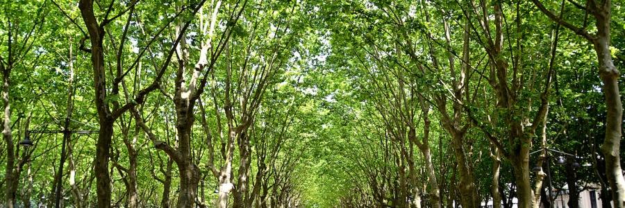 Schnurgerade stehen Platanen mit hellgrünen Laub auf diesem Platz in Bordeaux