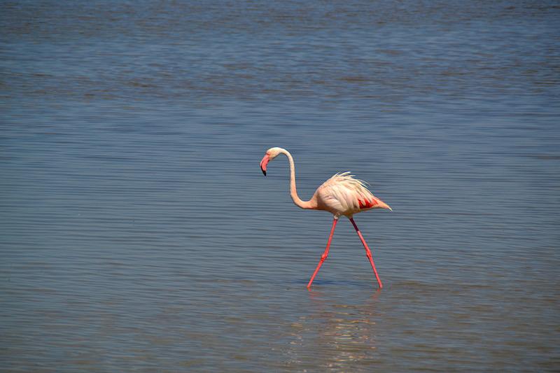 Ein knall-rosa Flamingo in der Lagune der Camargue