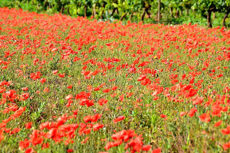 Mohnblumenfeld in voller roter Blüte auf der Ile de Ré