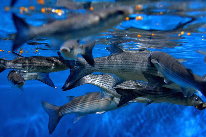 Gräuliche Fische schwimmen dicht unter der Wasseroberfläche um dort zu fressen