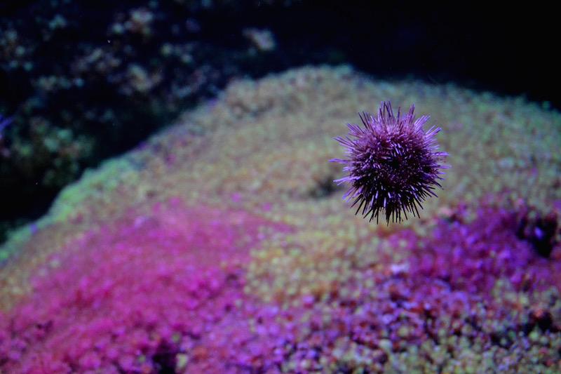 Ein rosaner Seeigel klebt an der Scheibe seines Aquariums