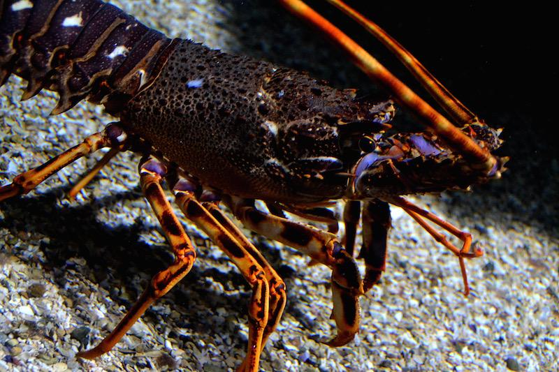 Ein rötlicher Hummer läuft aber den kiesigen Boden seines Aquariums