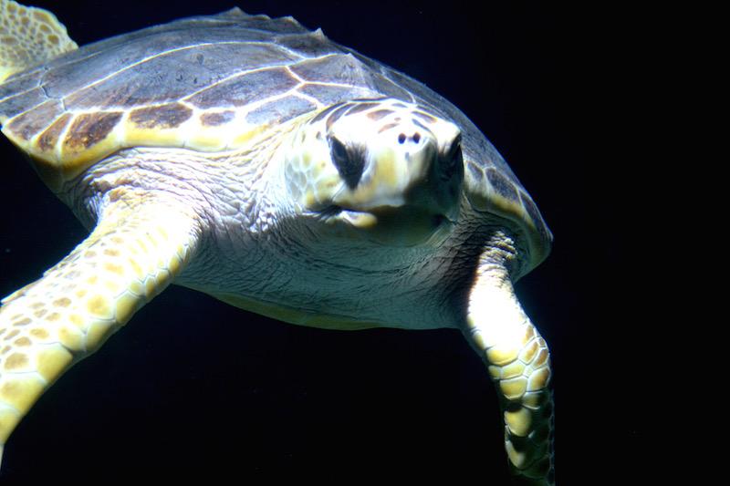 Eine Seeschildkröte blickt mir ins Gesicht