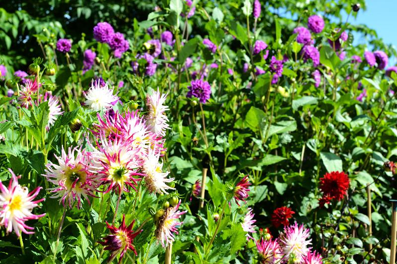 Die farbenfrohe Blumenpracht im Eden Project in Cornwall