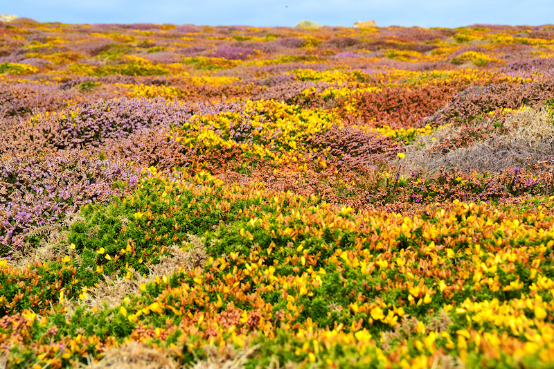 Gelb-violette Heide-Landschaft