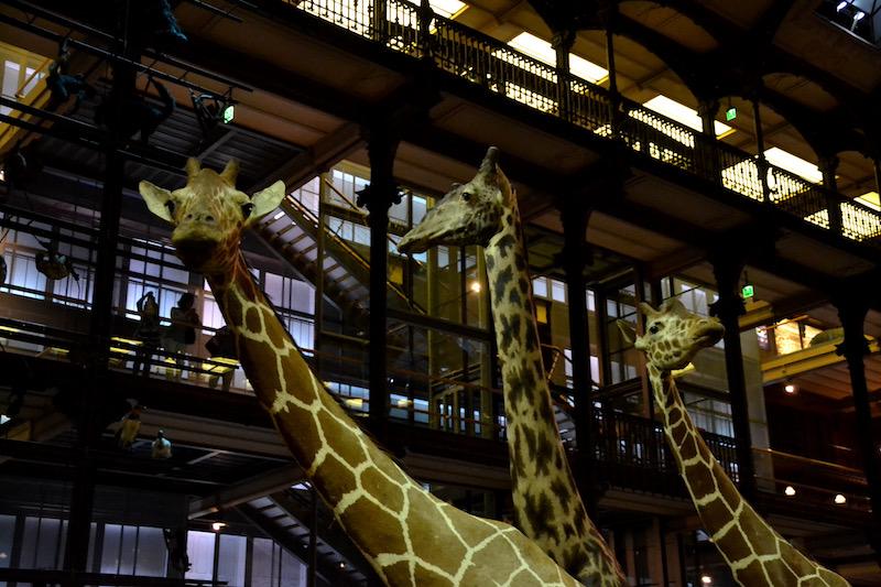 Fast lebensecht: die Tiere in der Grande Galerie de l'Evolution