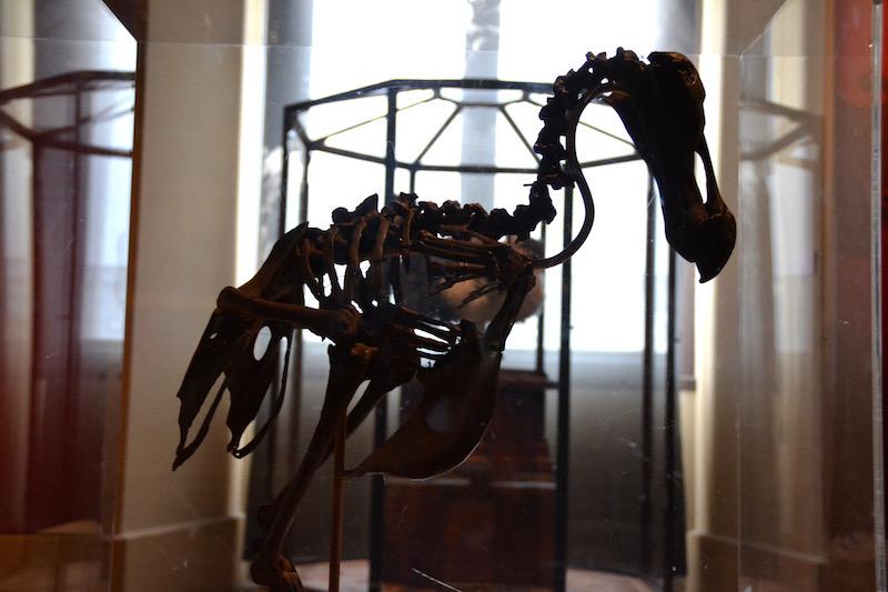 Was vom Dodo übrig blieb - ausgestorbene Tiere in der Grande Galerie de l'Evolution in Paris