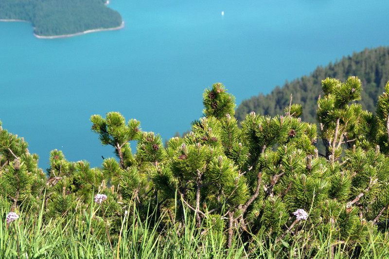 Blick über Gebüsch vom Herzogstand hinunter zum Walchensee