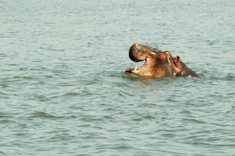 Der Liwonde Nationalpark ist ein Paradies für Flusspferde