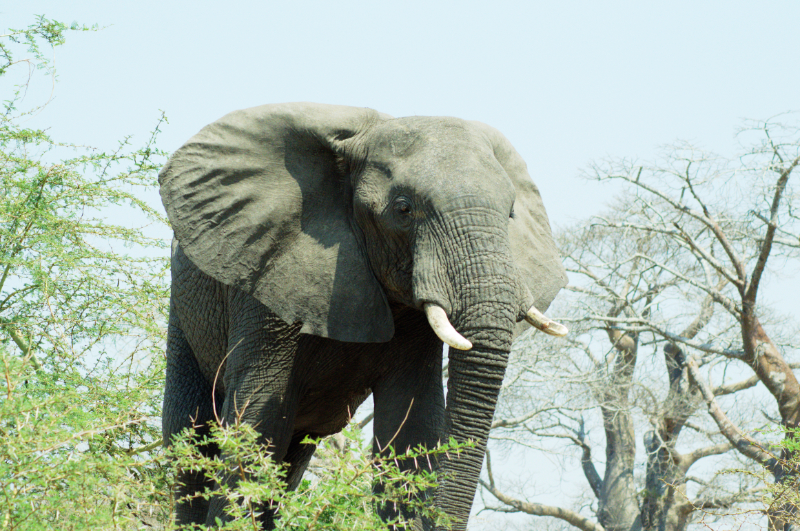 Nah heran: Elefantenbulle im Liwonde Nationalpark, Malawi