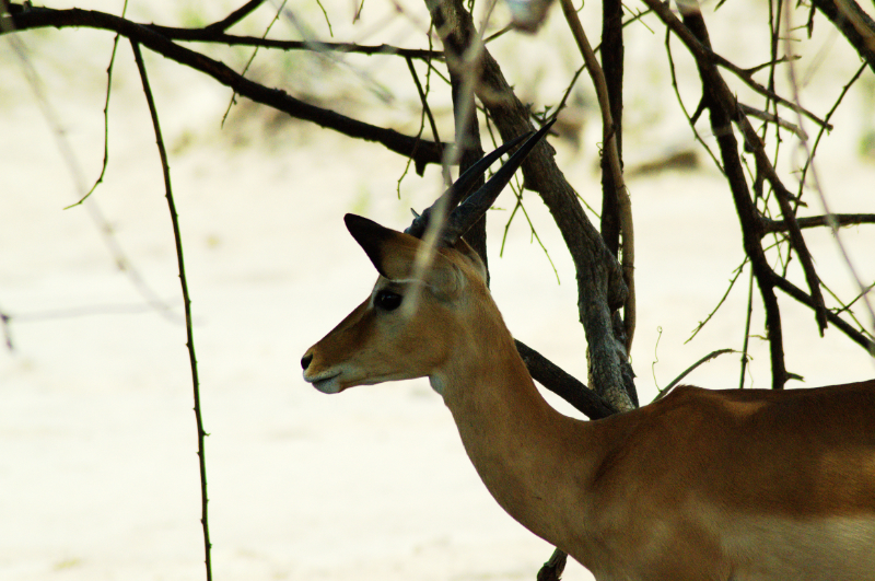 Impala Close-up im Liwonde Nationalpark, Malawi