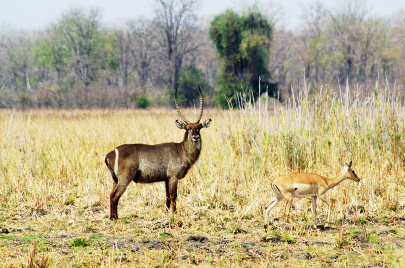 Tiere im Liwonde Nationalpark, Malawi
