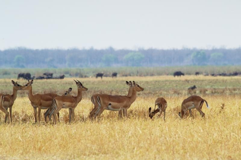 Impalas auf der Savanne des Liwonde Nationalparks, Malawi