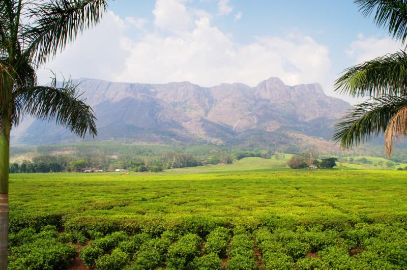 Grüne Teeplantagen zu Fuße des Mulanje Massivs in Malawi