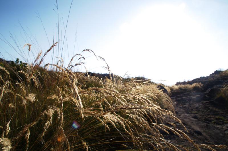 Gras wiegt sich im Wind des Berges auf dem Mulanje Massiv, Malawi