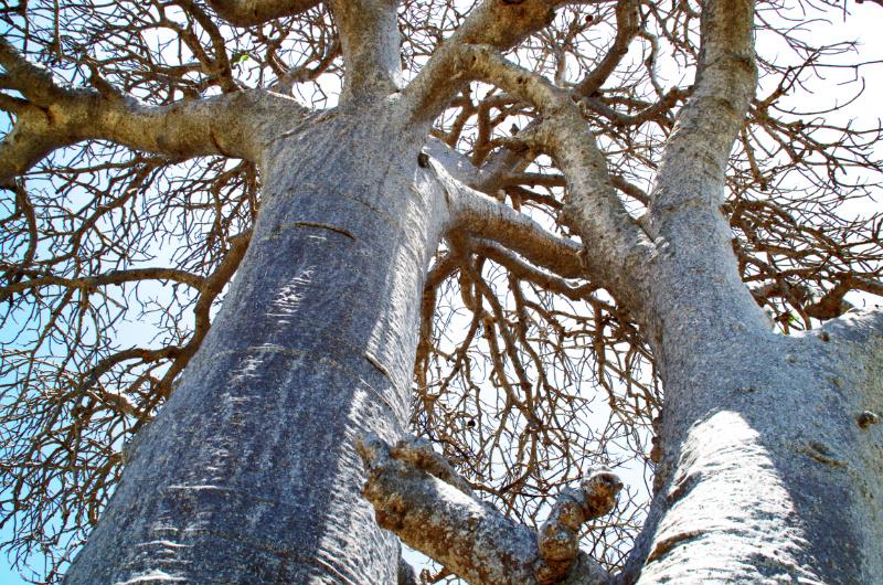Ilha de Moçambique: Baobab-Bäume am Strand