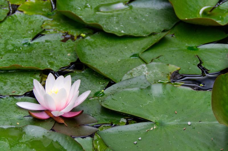 Padua: Seerose im Botanischen Garten