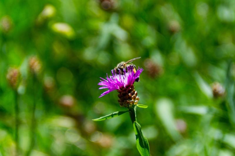 Biene im Schlosspark Nymphenburg