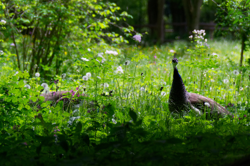 Pfau im Gras im Münchner Zoo
