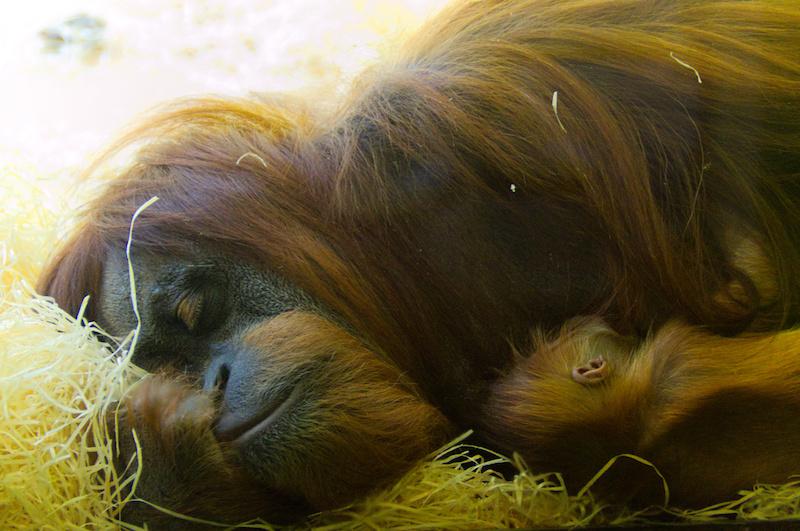 Mutter-Orang-Utan schläft im Arm mit Baby