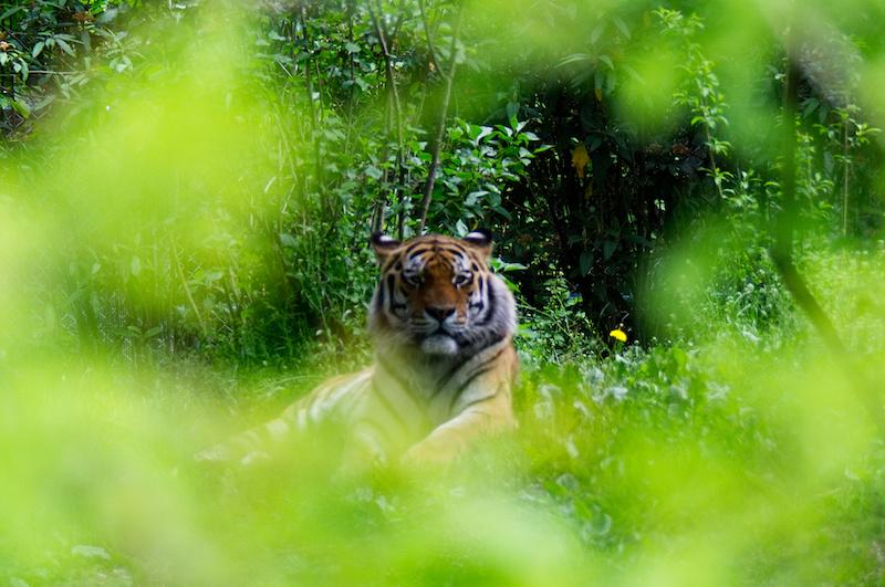 Tiger im Gebüsch