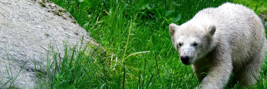 Eisbär-Baby Quintana in München Tierpark Hellabrunn