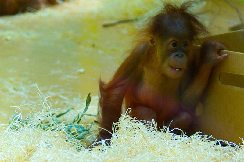 Orang-Utan-Baby im Münchner Zoo Hellabrunn