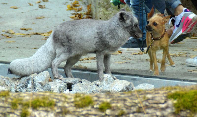 Polarfuchs trifft auf Mini-Hund, bloß durch Glas getrennt