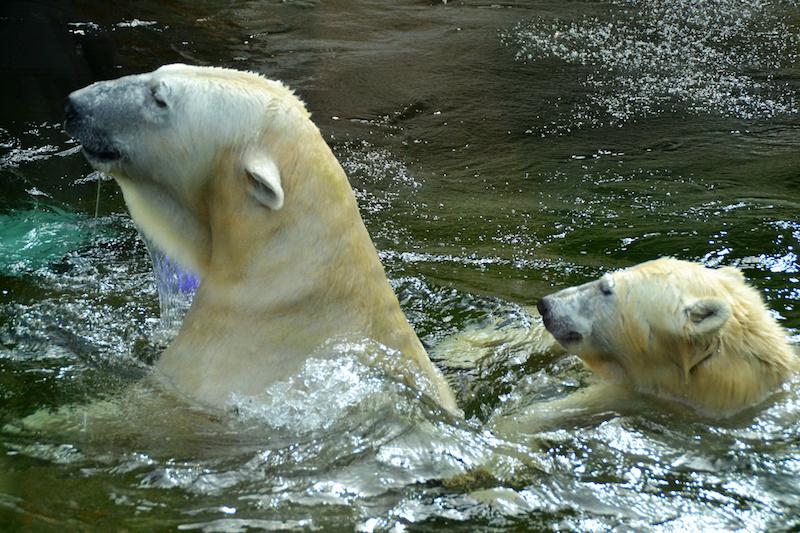 Mutter-Eisbär und Tochter Quintana schwimmen im Tierpark Hellabrunn, München