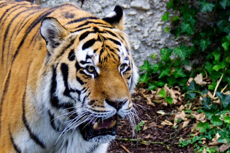 Tiger im Tierpark Hellabrunn, München