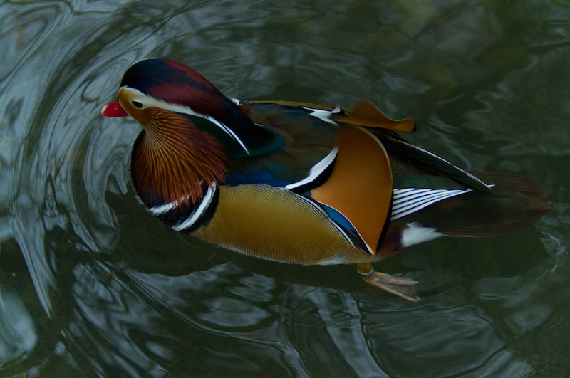 Mandarin-Ente im Wasser