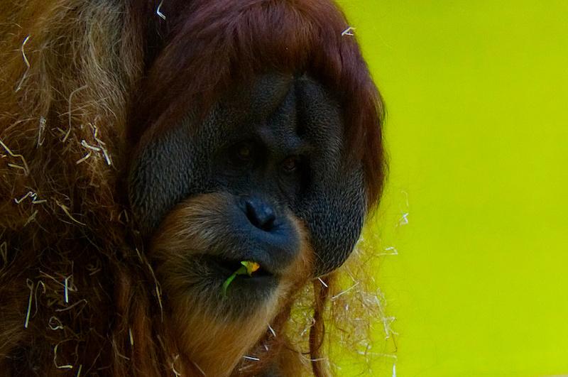 Der Orang-Utan-Chef im Menschenaffenhaus im Tierpark Hellabrunn