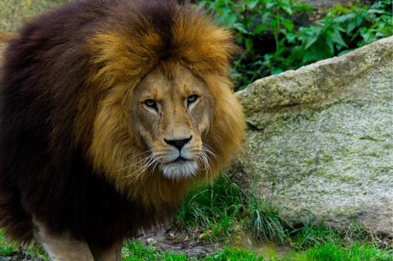 Der Löwe im Zoo München