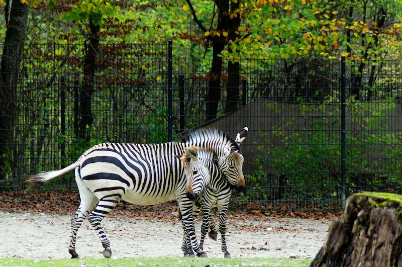 Mutter- und Fohlen-Zebra auf ihrer Savanne im Tierpark Hellabrunn