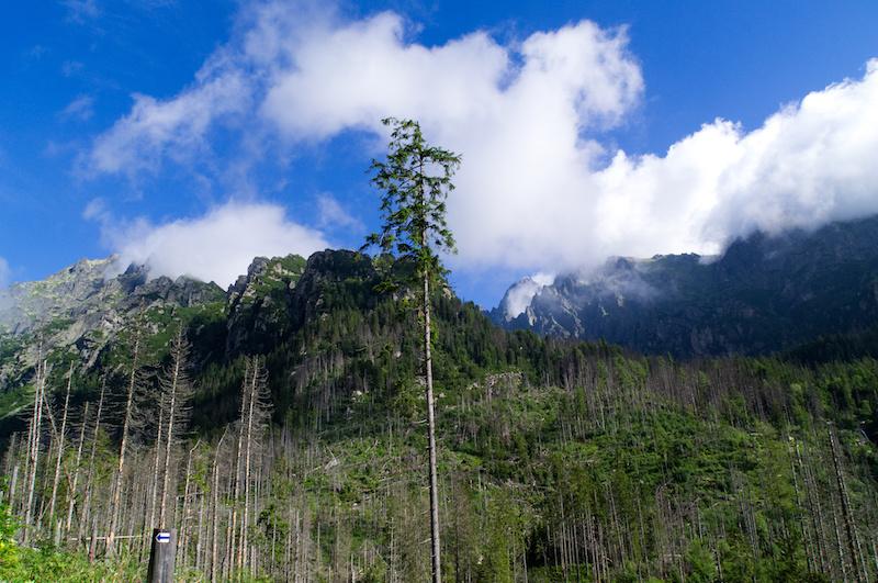 Baumstümpfe vor den Gipfeln der Hohen Tatra
