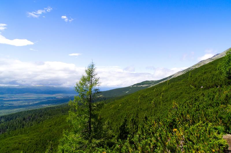 Der bewaldete Bergrücken der Hohen Tatra mit einer Tanne im Vordergrund