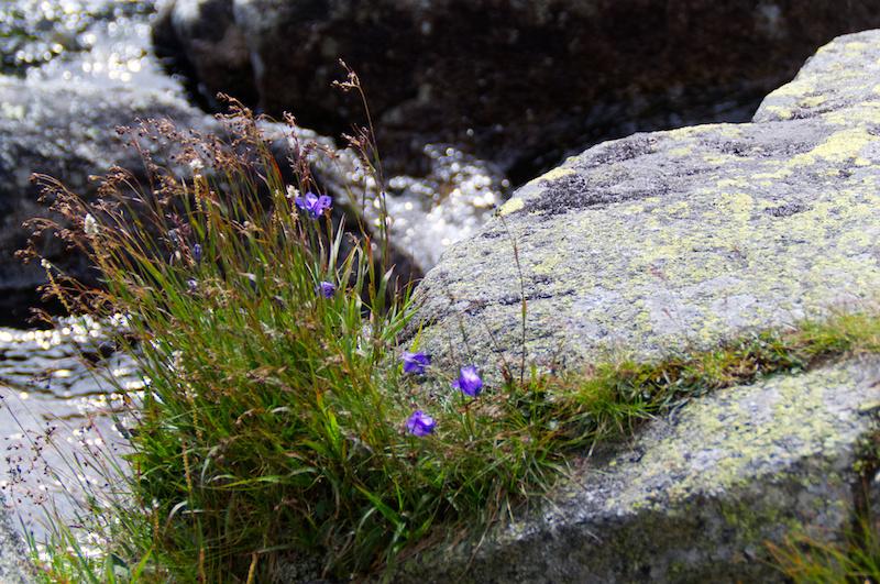 Lila Blümchen wachsen auf einem Felsen