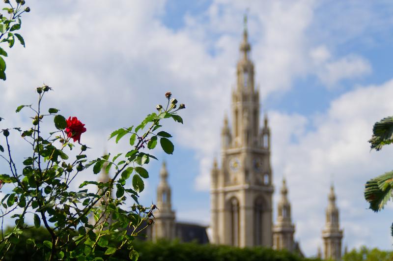 Einen Rosenbusch; im Hintergrund das Rathaus von Wien