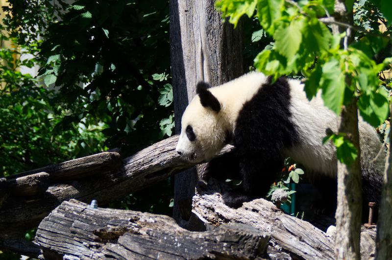 Ein junger Panda-Bär im Wiener Tierpark Schönbrunn