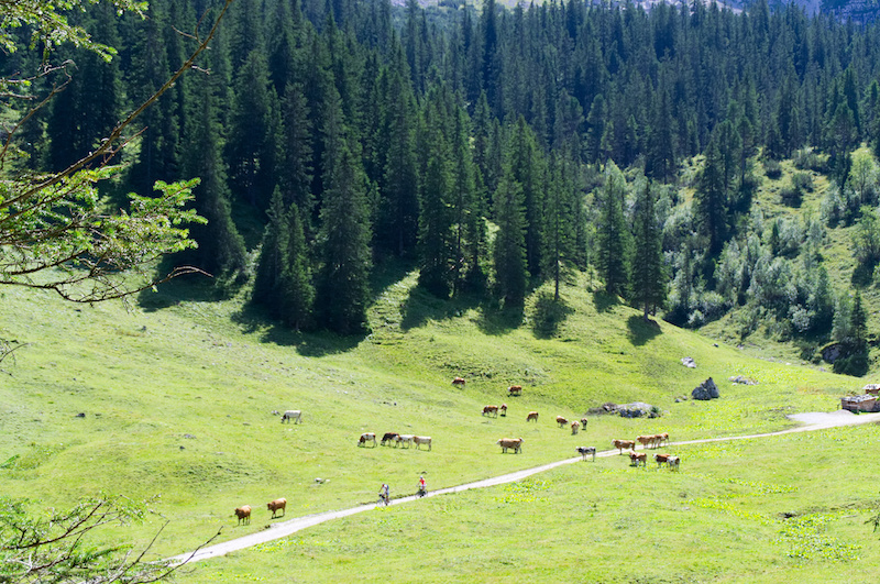 Wanderweg über eine Alm mit Kühen