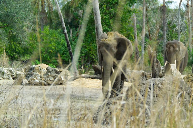 Zwei Elefanten in Disney's Animal Kingdom