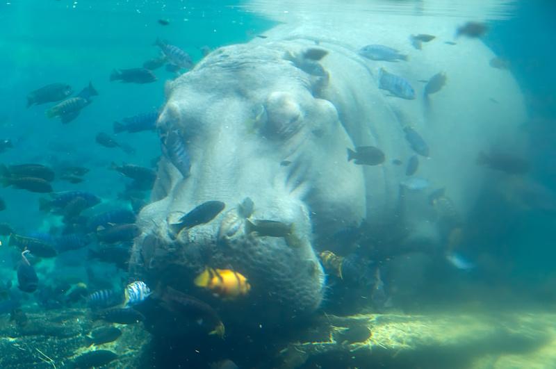 Ein dösendes Nilpferd in Disney's Animal Kingdom